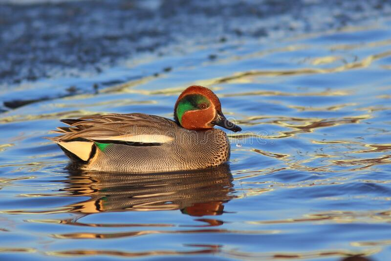 Duck Eurasian Teal or Common Teal Anas crecca male. Teal  swimming in the water. Blue Sky is reflected in the water. Pond in a City Park at the end of Winter stock photography