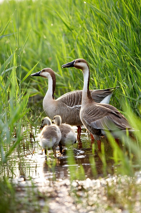 Duck family. A view of duck family, father, mother and children, in green grass royalty free stock photography
