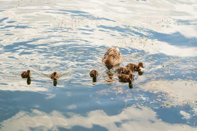 Duck Family auf dem See lizenzfreies stockbild