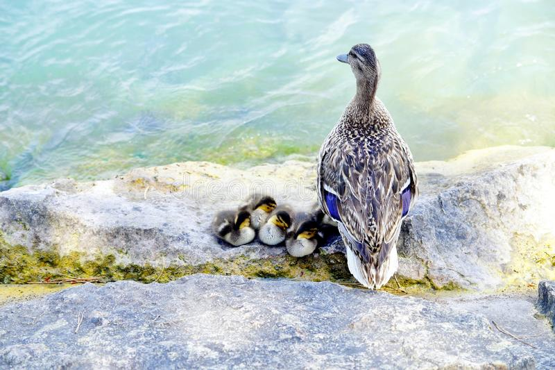 Duck family cuddling by the lake. royalty free stock photos