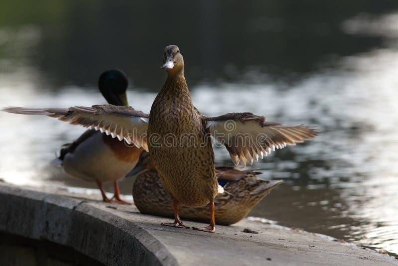 Duck Family en el banco de la charca fotografía de archivo libre de regalías