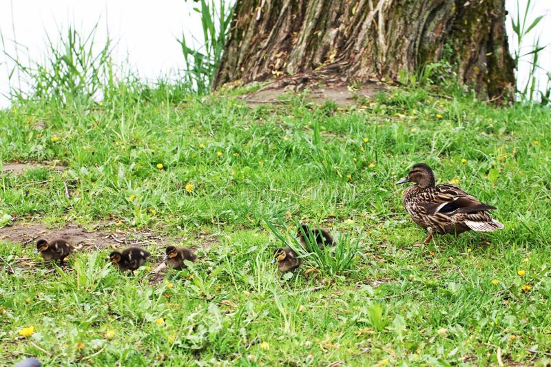 Duck family female and chicks nibble grass around a large tree stock photo