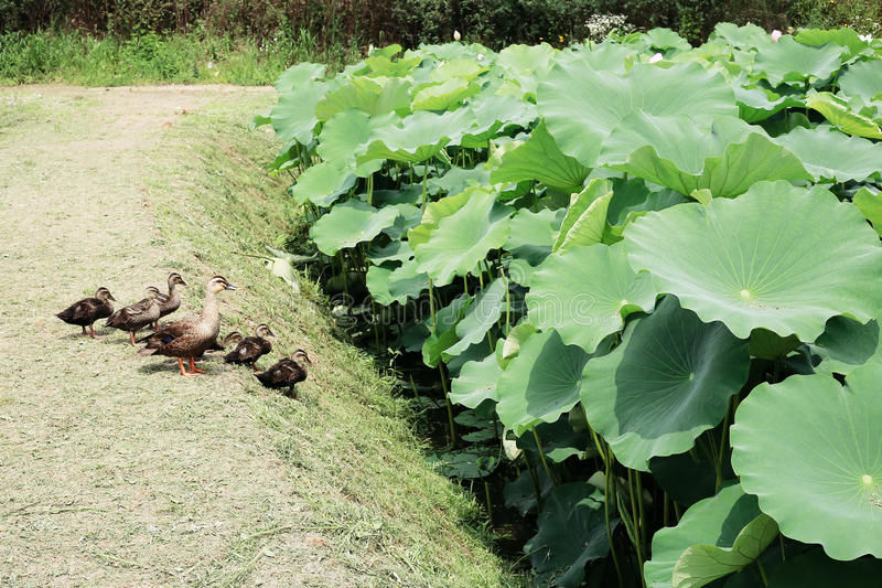 Duck family and green lotus leaf field in summer day royalty free stock photos