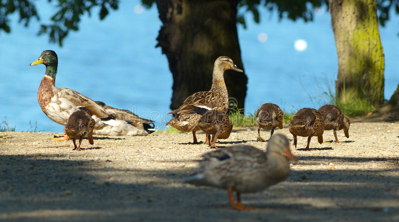 The Duck Family royalty free stock photography