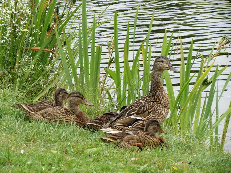Duck family. On lake shore royalty free stock image