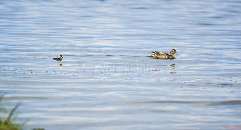 Duck family stock photos