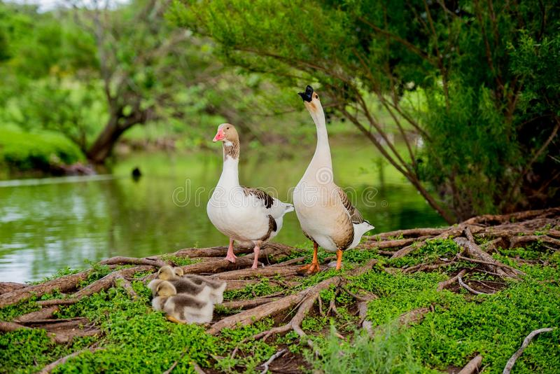 DUCK FAMILY BY POND IN TX 2 stock photography