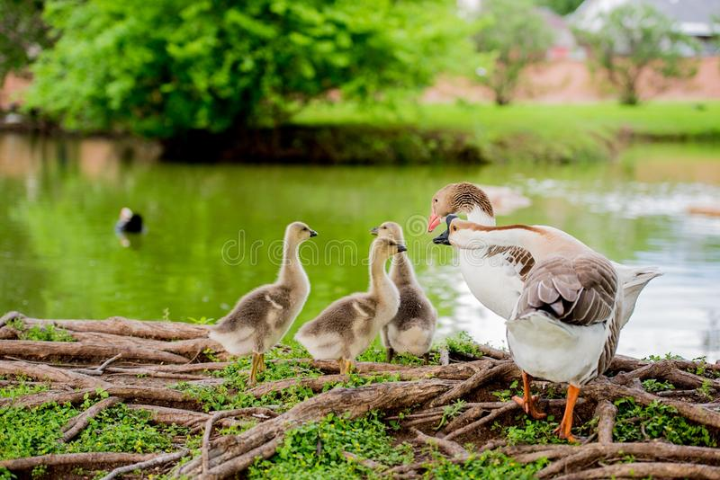 DUCK FAMILY BY POND IN TX 2 stock images