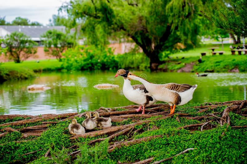 DUCK FAMILY BY POND IN TX 2 stock photo
