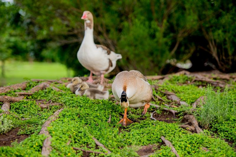 DUCK FAMILY BY POND IN TX 2 royalty free stock images