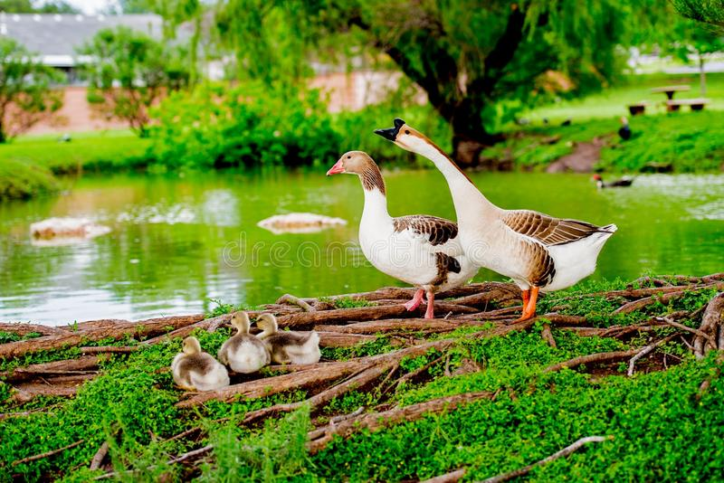 DUCK FAMILY BY POND IN TX 2 royalty free stock image