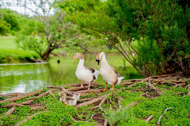 DUCK FAMILY BY POND IN TX 2 royalty free stock photography