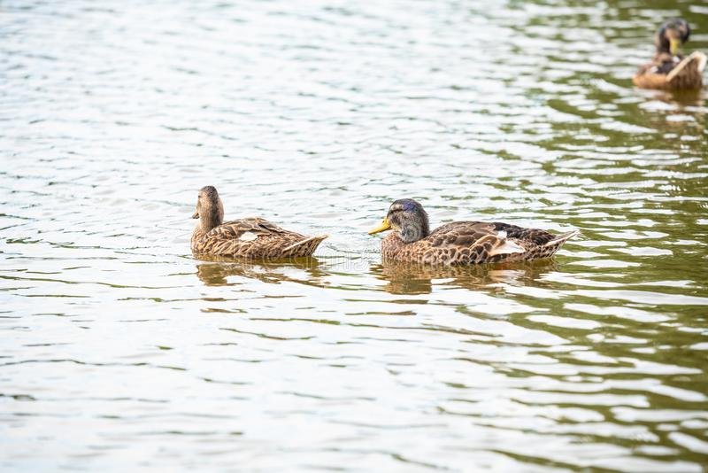 Duck family is swimming on a small pond royalty free stock images