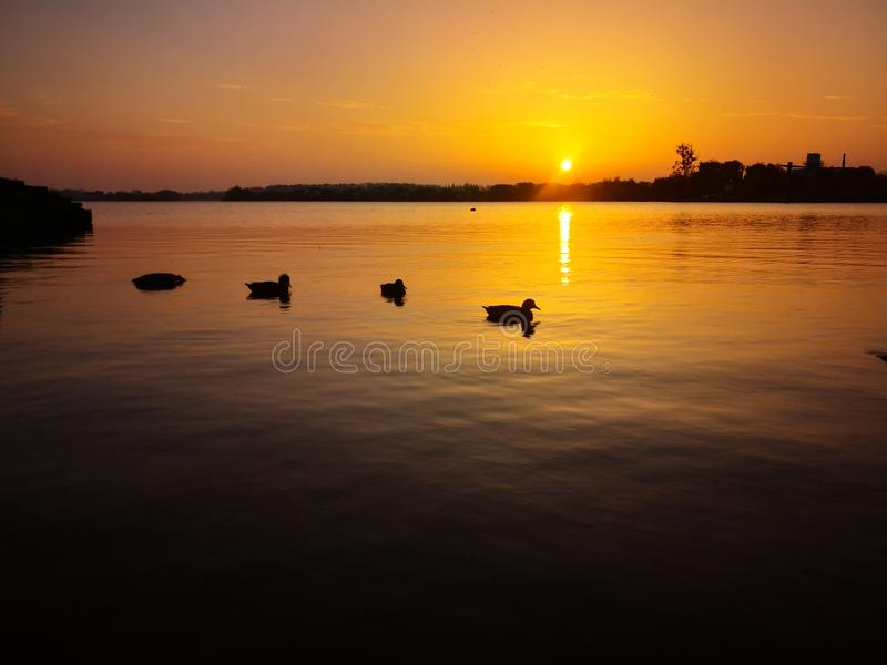 Duck family swims during a sunset royalty free stock photos