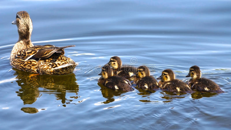 Duck family stock photography