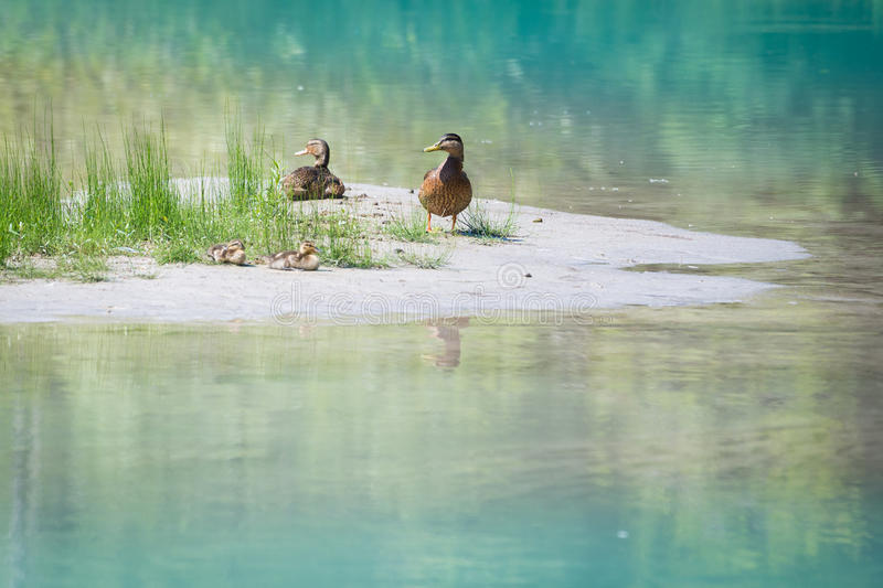Duck family with young babies at river bank with grass royalty free stock photo