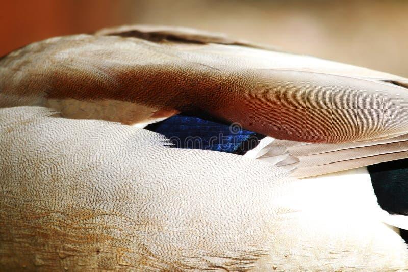 Duck Feather nos detalhes foto de stock