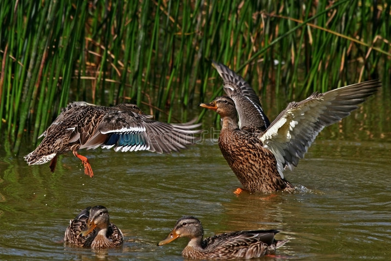 Download Duck Fight. Royalty Free Stock Photo - Image: 1724105