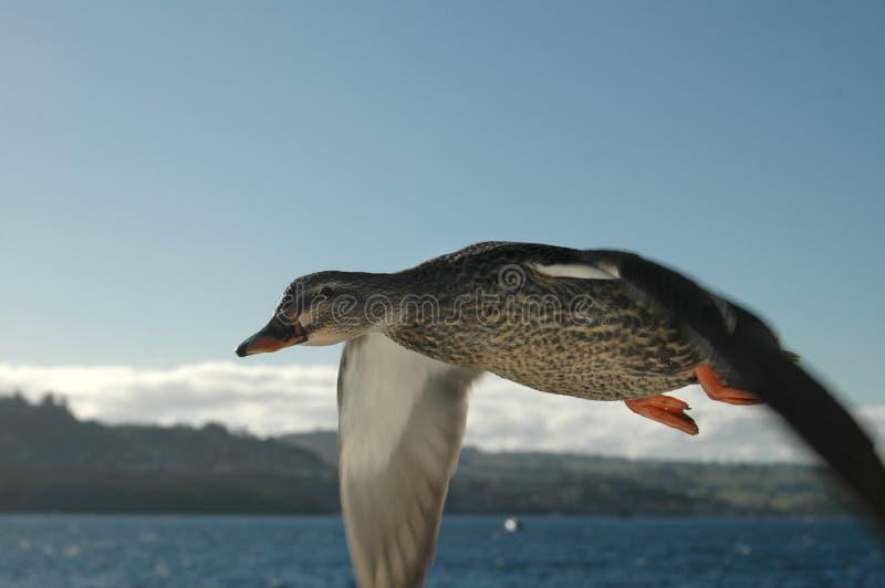Duck in Flight 3 stock photo