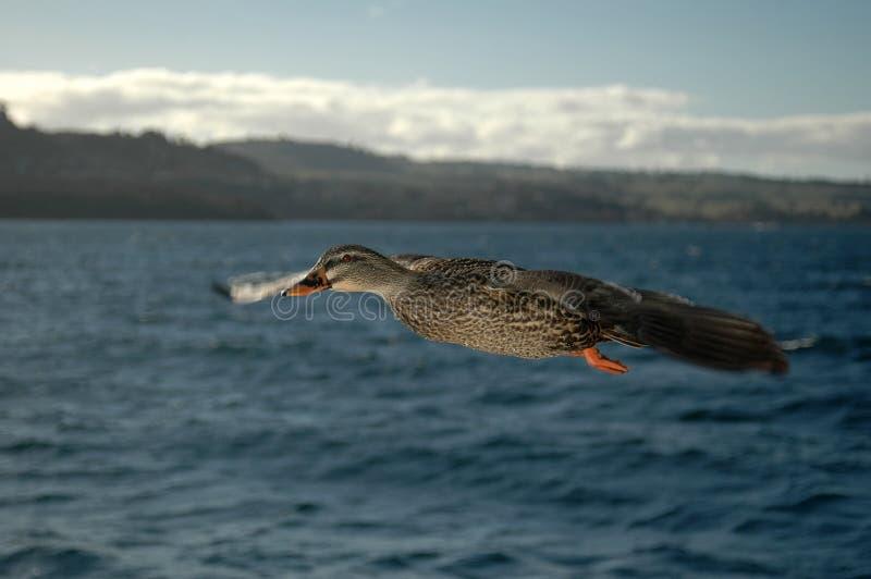 Duck in Flight 4 stock photos