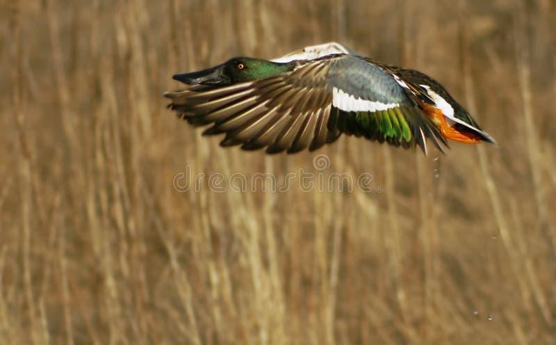 Duck in Flight stock photos