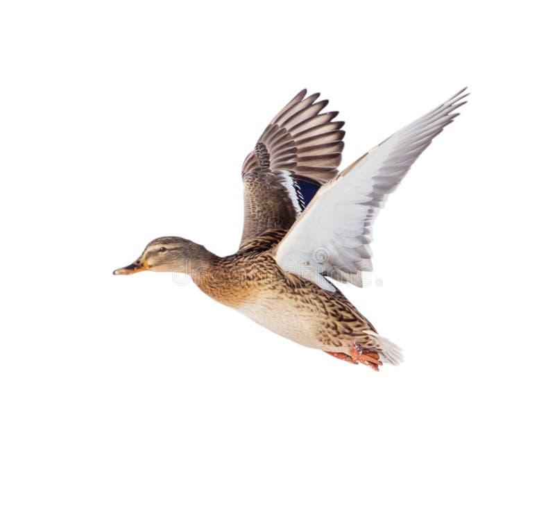 Mallard Male Duck Flight Stock Images