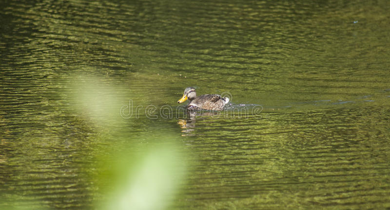 A duck floating on golden waters of a lake. royalty free stock photos