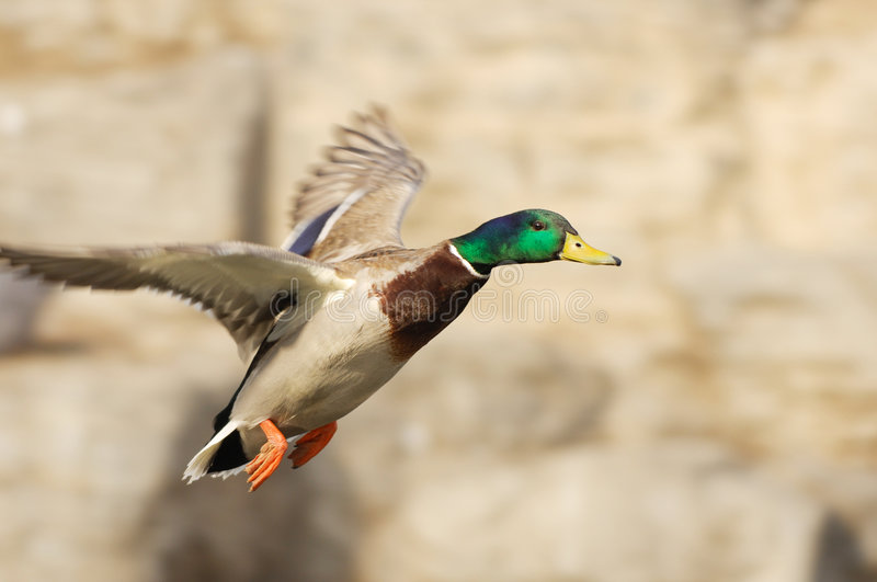 Duck flying. Male Mallard duck flying in light brown background royalty free stock photos