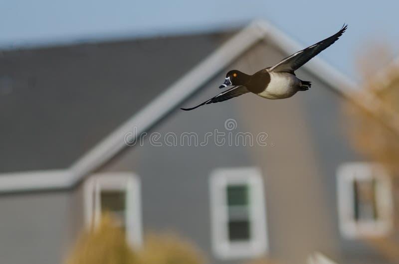 Duck Flying Through Anneau-étranglé un voisinage résidentiel images stock