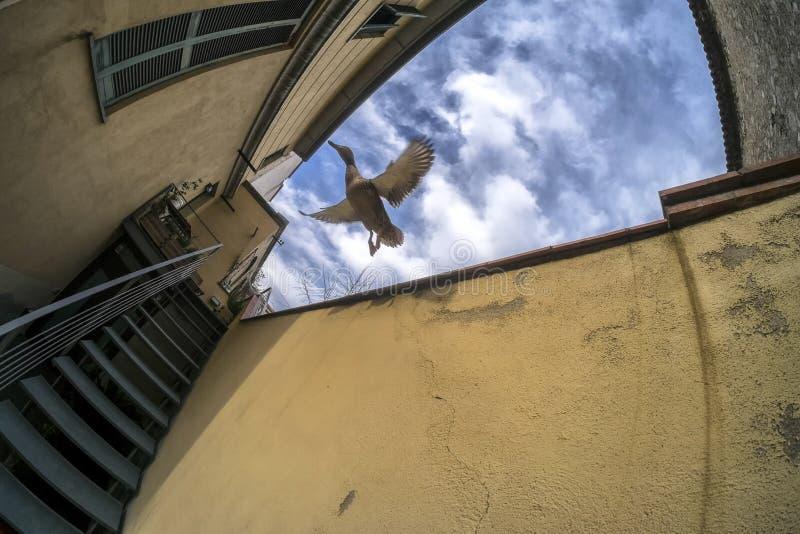 Duck flying. Between buildings in Girona stock images