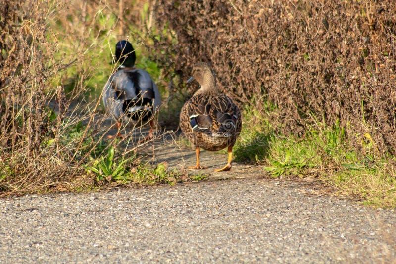 Duck Following femminile Drake Down un percorso immagine stock