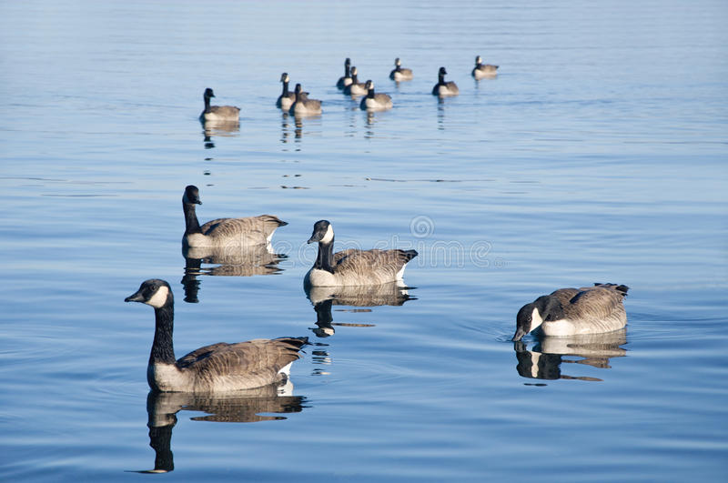 Download Duck Formation stock photo. Image of blue, animal, river - 22009884