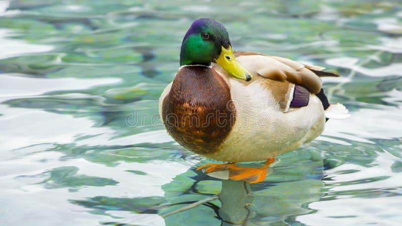 Duck in the fountain stock photos