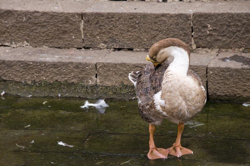 Duck Fourteen royalty-vrije stock afbeelding