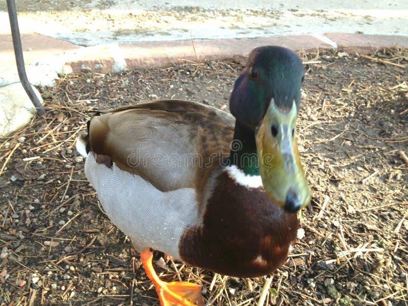 Duck Friend divertente fotografia stock
