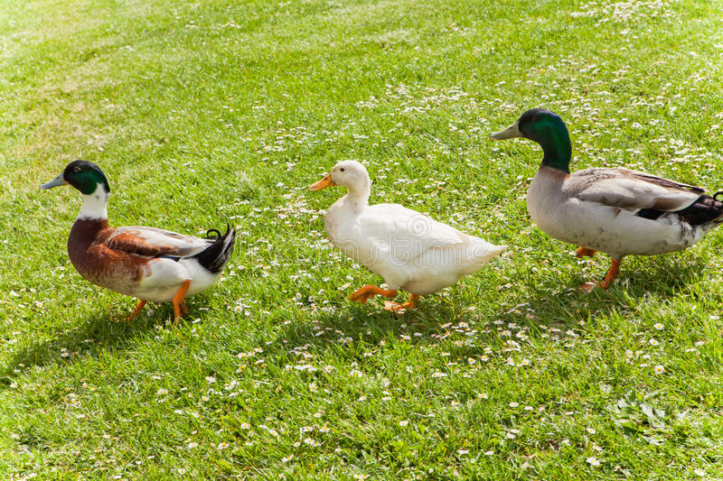 Duck and Friends royalty free stock images