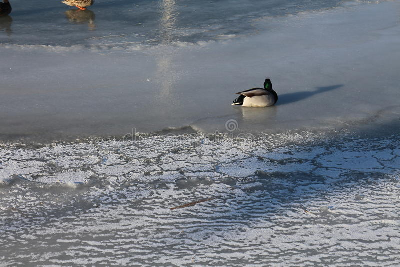 Duck on frosted surface of lake Neusiedl stock image