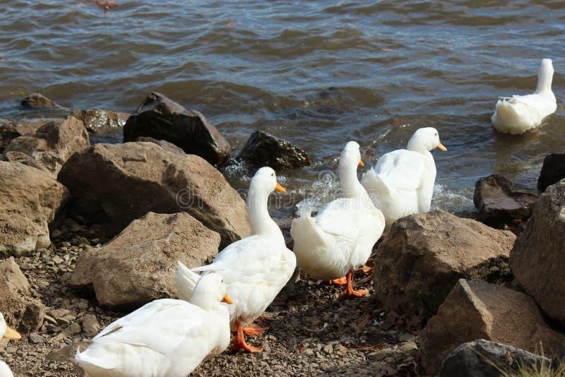 Duck Go Marching royalty-vrije stock afbeeldingen