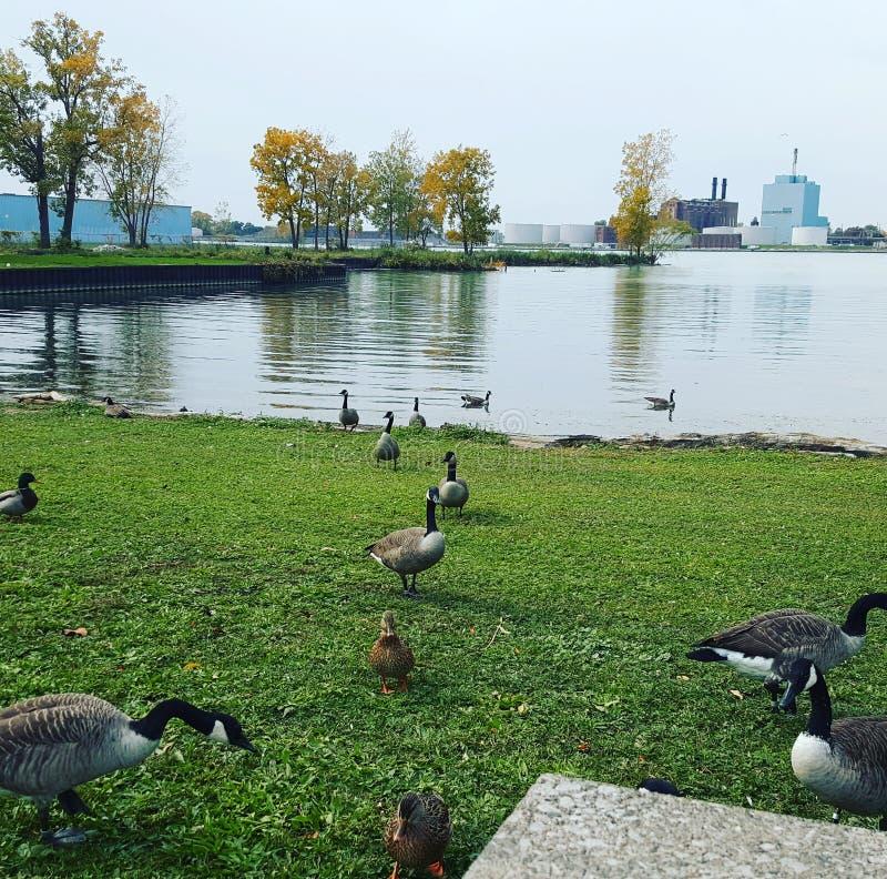 Duck Duck Goose photo libre de droits