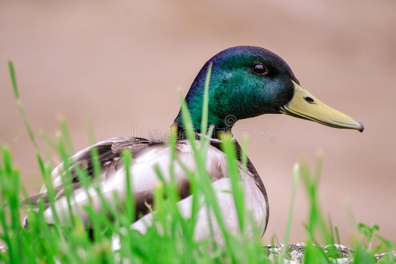Duck on grass stock images