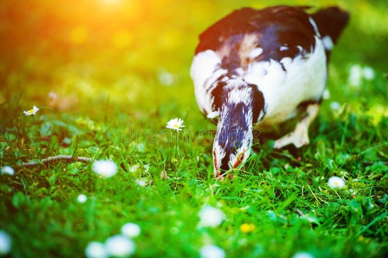Duck on green grass stock photos