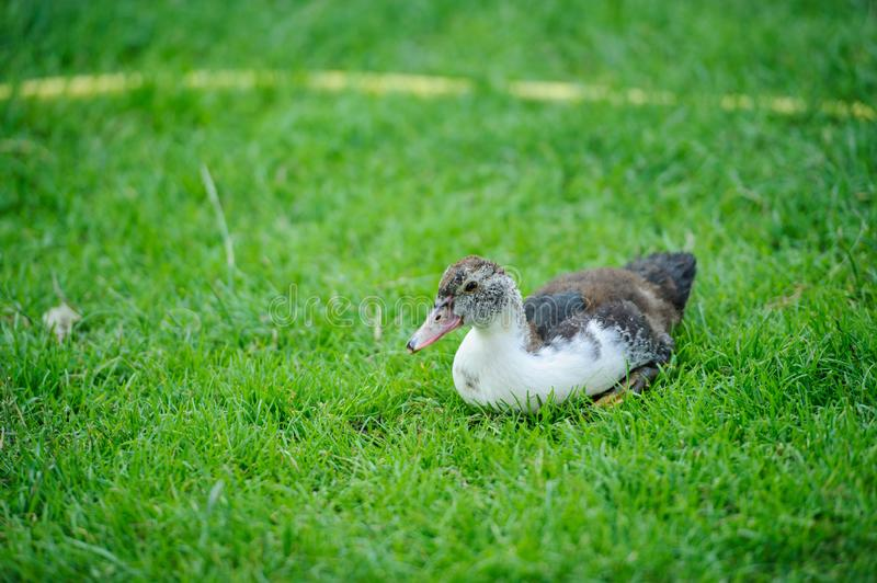 Duck on a green grass. Adorable, agriculture, animal, background, beak, beautiful, bird, birdwatching, blue, brown, care, closeup, country, countryside, cute royalty free stock photo