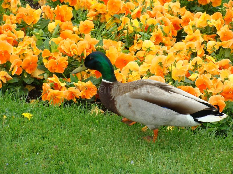 a duck with a green neck walks near a city bed with tulips royalty free stock images