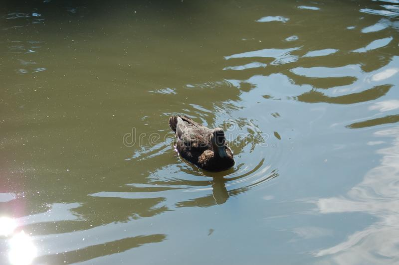 A duck in a green water pond royalty free stock photography