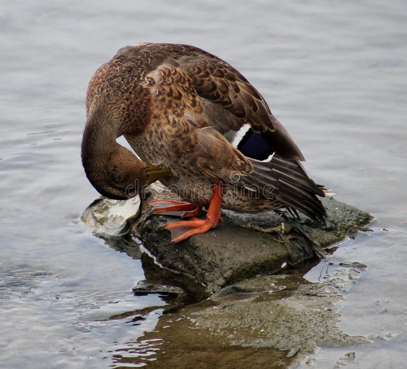Free Duck Grooming Royalty Free Stock Image - 43096886