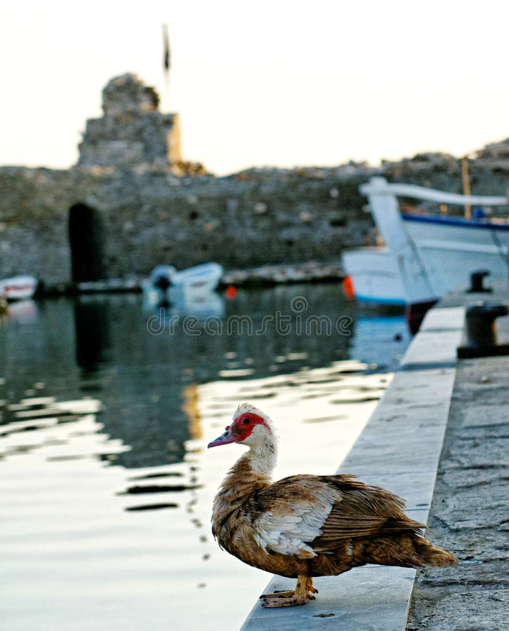 Duck On Harbor Wall Royalty Free Stock Photography