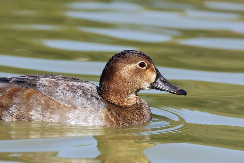 Duck head stock images