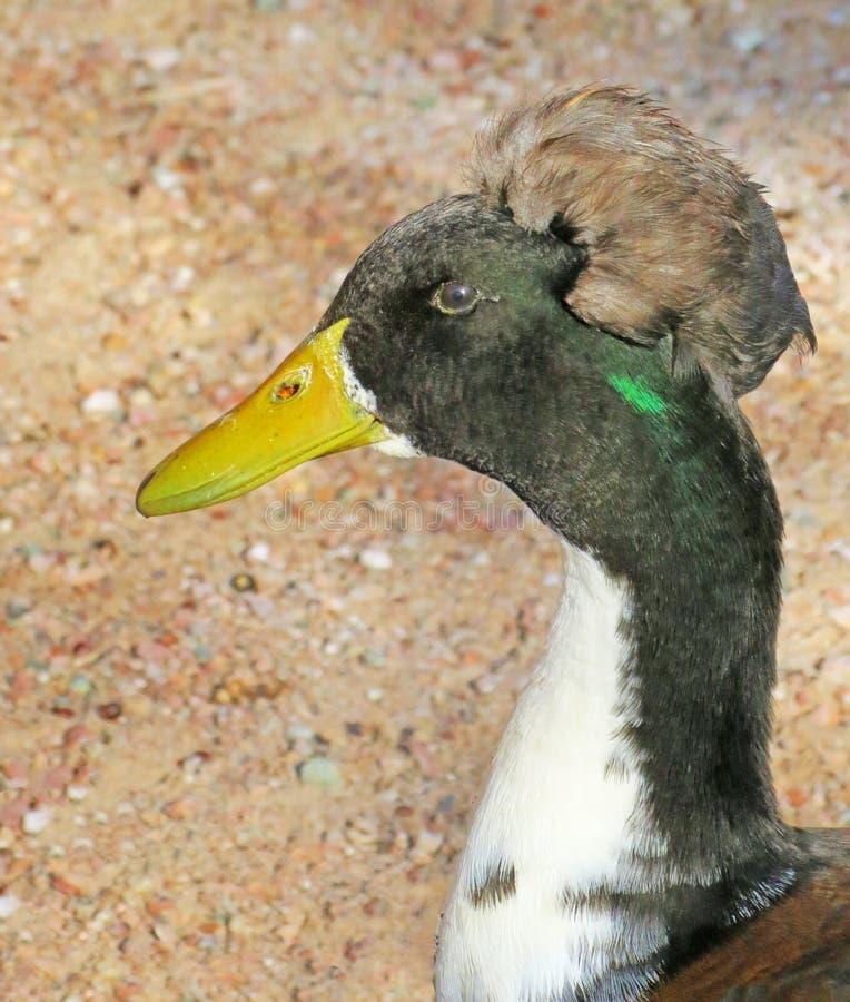 Duck Head Plumage imagens de stock