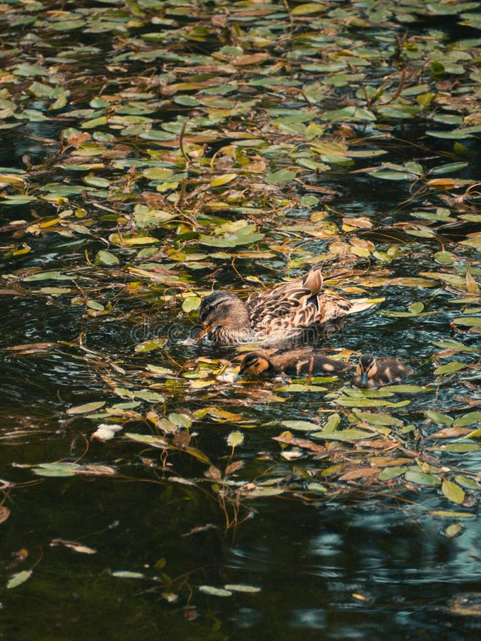 Duck and her small yellow duckling camouflaged royalty free stock image