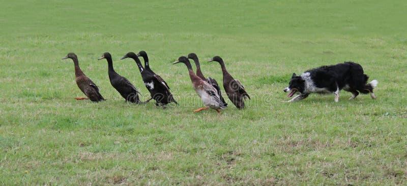 Duck Herding stockbilder